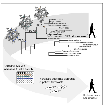 Ancestral lysosomal enzyme TOC